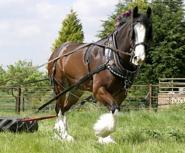 тяжеловозная лошадь Шайр