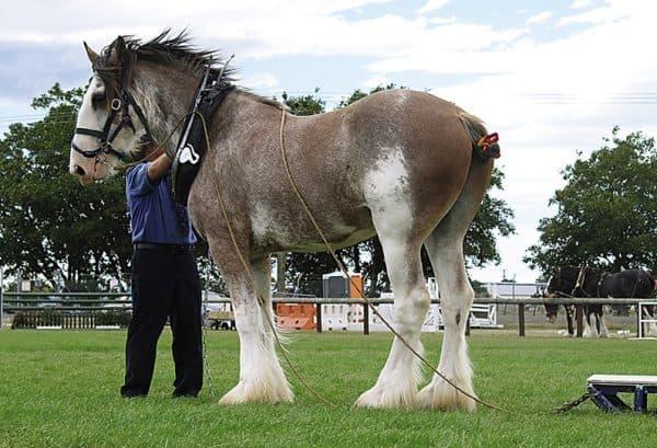 тяжеловозная лошадь Клейдесдаль
