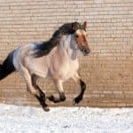 Выносливые лошади башкирской породы