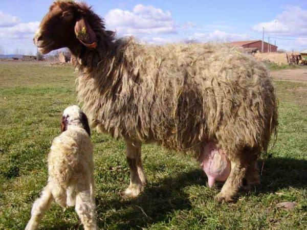 порода овец Ассаф