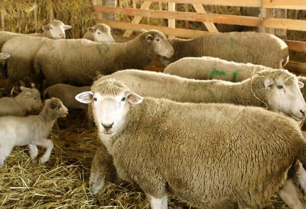 куйбышевская мясная порода барана
