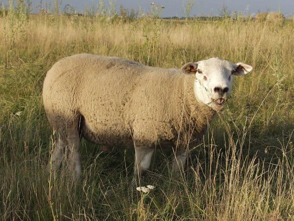 французская порода овец тексель