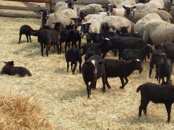романовская мясная порода барана