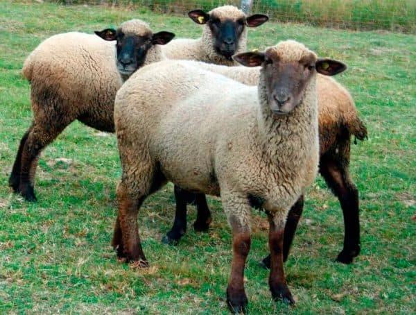 горьковская мясная порода барана