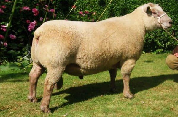 мясная порода барана Вандейская