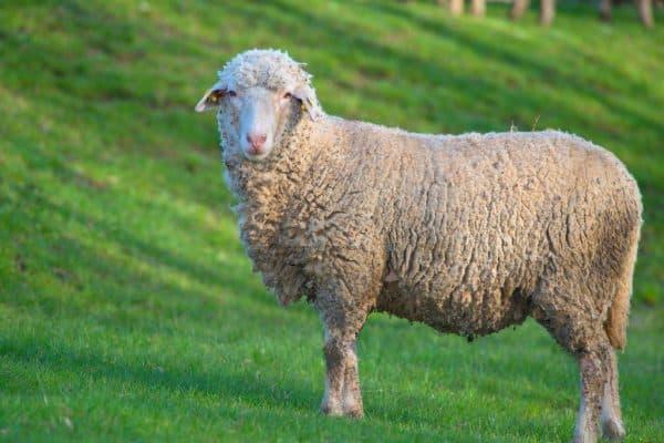мясная порода барана Прекос